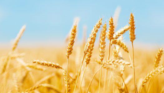 Burocracia emperra pagamento de leilões de trigo