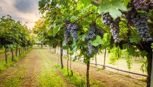 Projeto cria programa de fortalecimento da vitivinicultura